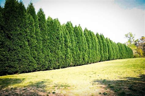 best trees for backyard privacy leyland cypress the best privacy tree the tree center