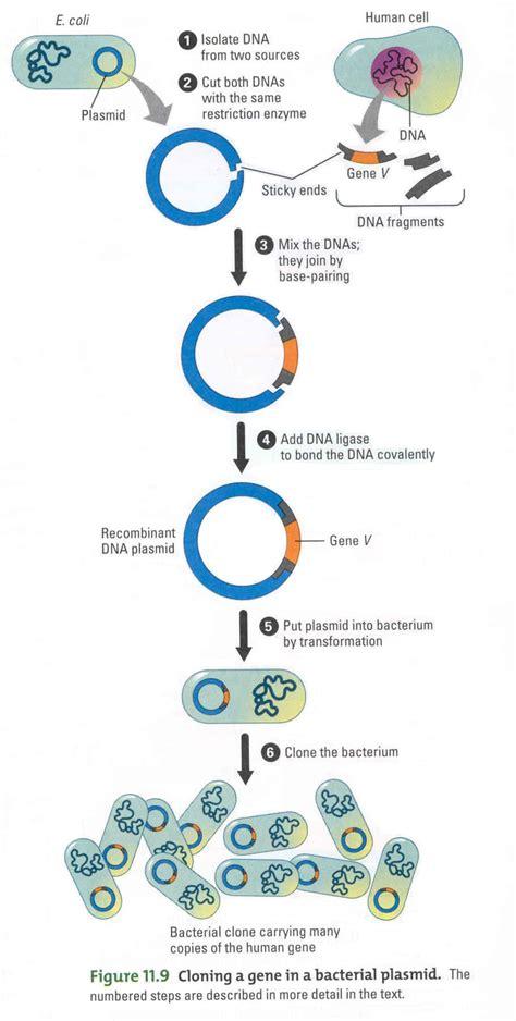 Bioengineering Amp Genetics Study Guide