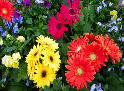 romantic flowers gerbera flower