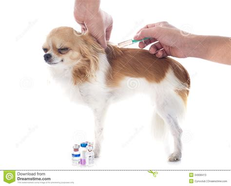 free puppy vaccinations vet and stock image image of perfusion syringe 34908413
