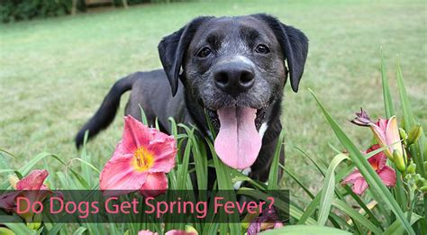 do dogs get fevers do dogs get fever chasing tales