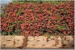 perennial flowering vines learn about vines that are