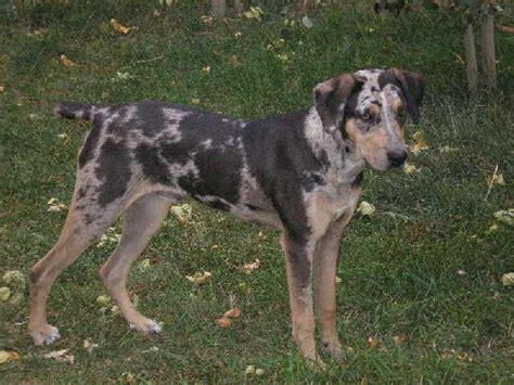 catahoula hound lost catahoula leopard hound houston spca