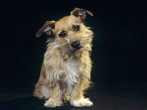 terrier breeds mixed terrier breeds www imgkid the image kid has it