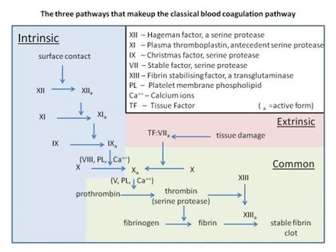 blood clotting cascade diagram how blood clots platelets and the coagulation cascade