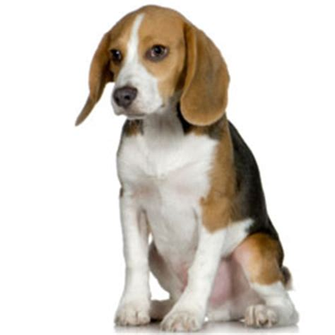 what is a good house dog 1 beagle 10 best family dog breeds howstuffworks