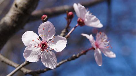 fiori di bach cherry plum cherry plum floridinamica