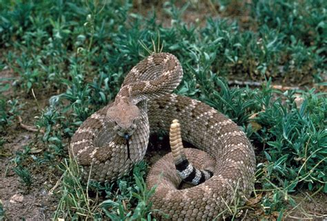 rattlesnakes critter getter pest control and wildlife