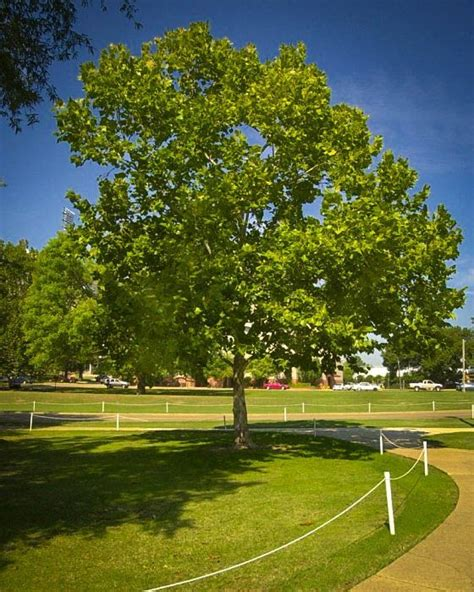 american sycamore american sycamore for sale the tree center