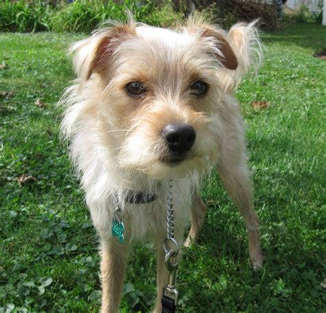 how to a terrier mix tr a wire haired terrier mix doovi