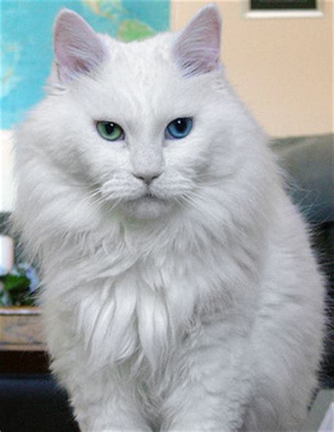 white cat with odd eyes a tonk s tail err tale white cats star trek and
