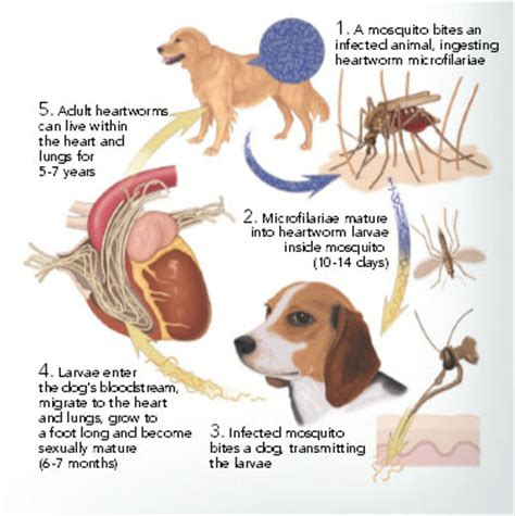 heartworm in dogs www pixshark images galleries