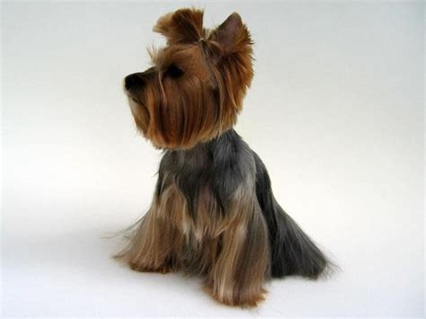 hairstyle for yorkshire terrier yorkshire terrier haircut hairstyles ideas