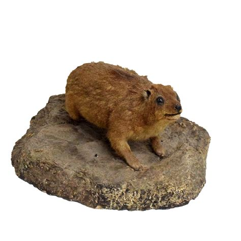 hyrax rock hyrax taxidermy mounts for sale and