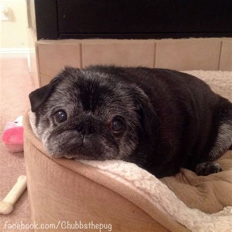 chubbs the pug 19 best images about chubbs the wug on