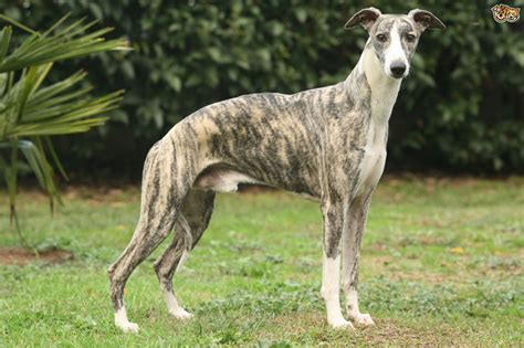Whippet Dog Breed Information, Buying Advice, Photos and ...