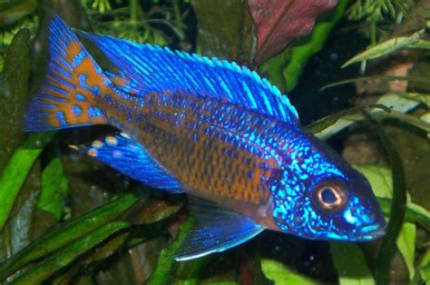 most colorful freshwater fish add and sparkle to your aquarium with the top 10 most