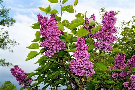 lilac flowering shrubs free photo lilac ornamental shrub flowers free image