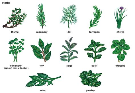 different types of garden plants the types of comment herbs