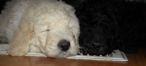 goldendoodle puppy washington state f1b goldendoodles summer 2011 aussiedoodle and