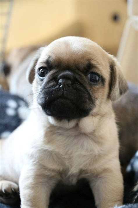 retro mops pug for sale 3039 best puppys hunde welpen images on poodles dogs and puppys