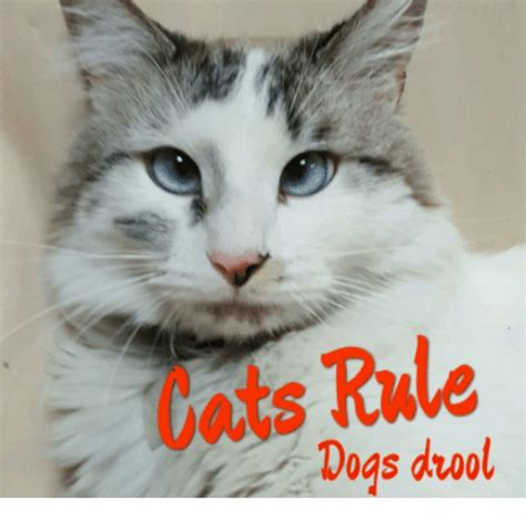 dogs and cats rule 25 best memes about cats rule cats rule memes