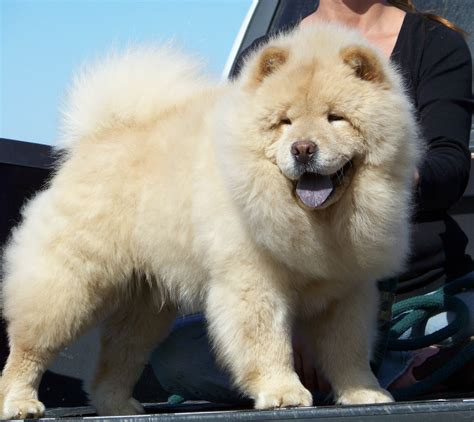 china doll chows chow chow studs of china doll chows
