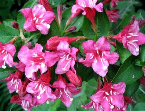 flowering shrub weigela weigela