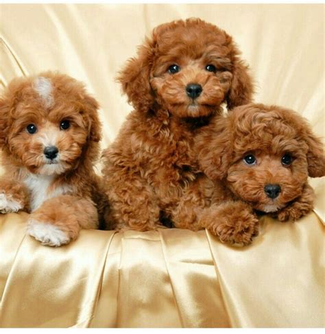 brown maltipoo puppies brown maltipoo f u r b a b i e s