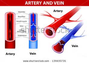 what color are arteries circulatory system stock photos images pictures
