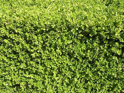 nomi piante da giardino piante da siepi sempreverdi siepi scegliere