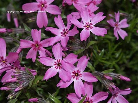 Stek Moss Pink 1 phlox subulata is a low green leaved perennial moss pink is great for small spaces and for the