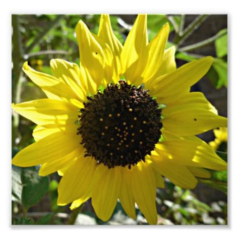 Vegetable Planterbag Sunflower Print sunflower plant helianthus annuus photo print zazzle