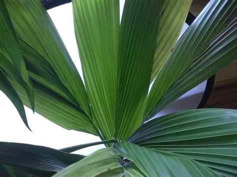 pianta di cocco da appartamento noce di cocco cocos nucifera cocos nucifera piante