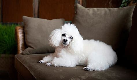 small poodle lifespan cockapoo characteristics appearance and pictures
