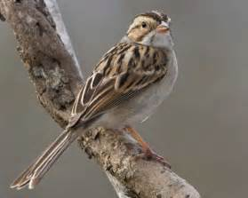 clay colored sparrow audubon field guide
