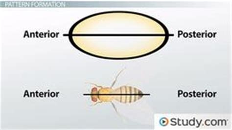 pattern formation genetics definition model organisms and developmental genetics videos