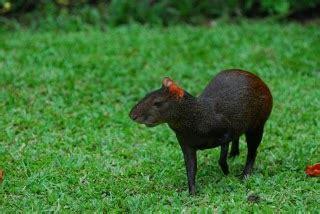 tattoo animal in trinidad game animals on way to extinction in trinidad and tobago