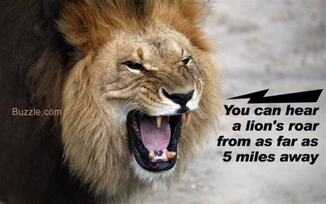 lions roar amazing physical and behavioral adaptations of african lions