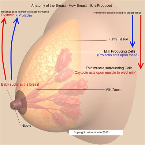 c section breastfeeding milk production hormones involved in lactation and milk supply mom