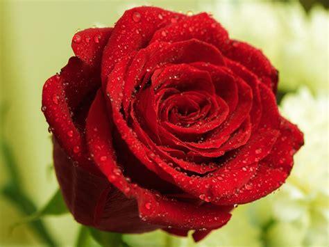Minyak Atsiri Bunga Mawar 5 manfaat bunga mawar untuk kecantikan dan kesehatanbeauty