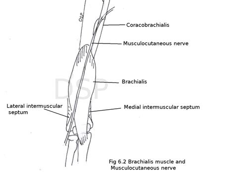 sections of the arm arm myhumananatomy