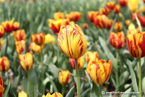 pictures of flowers picture of tulip flowers flower pictures 46