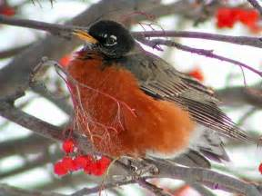 american robin facts characteristics life cycle ecology