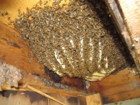 remove honey bees from house mike s tech