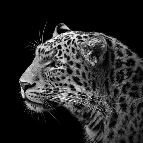 National Geographic Wall Murals these wild animals are photographed in grayscale and the
