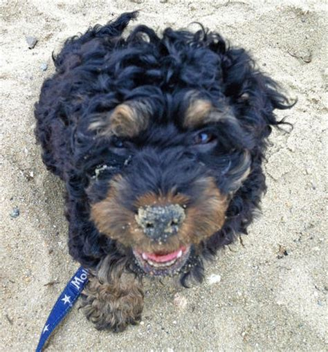 rottweiler mixed with poodle 9 rottweiler mixes you need to check out the rottweilers
