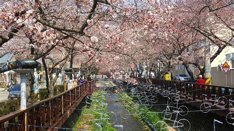 cherry blossom festival gunhangje cherry blossom festival in jinhae