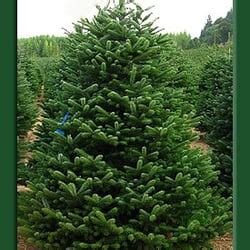 adopt a christmas tree christmas trees san diego ca