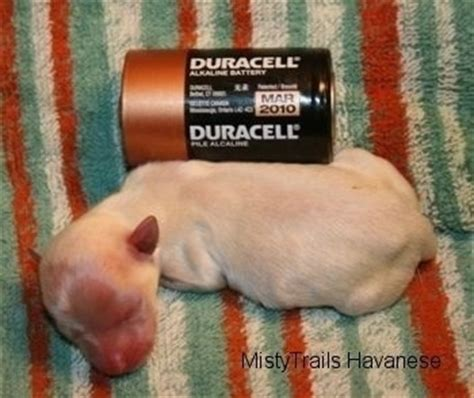 premature puppies dealing with a premature litter whelping and raising puppies